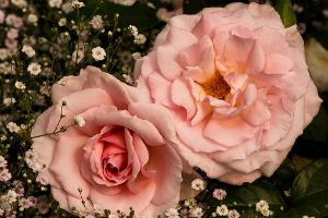 Antique-Roseshow